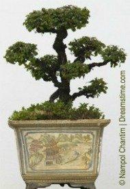 potted chinese bonsai