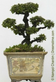 potted chinese bonsai